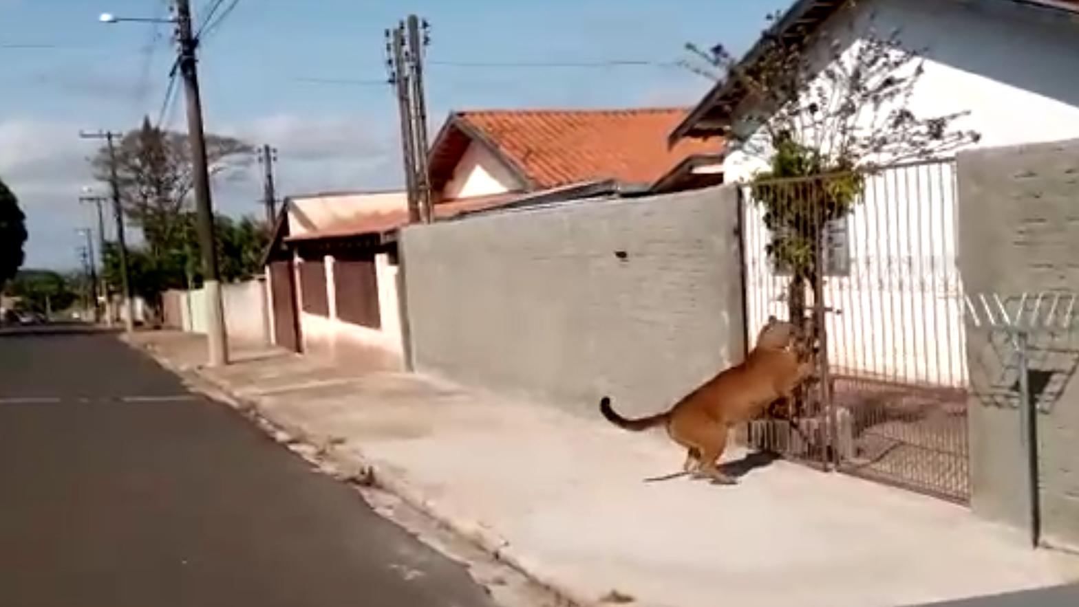 Onça Parda invade cidade de Cerqueira César e acaba filmada por populares 2